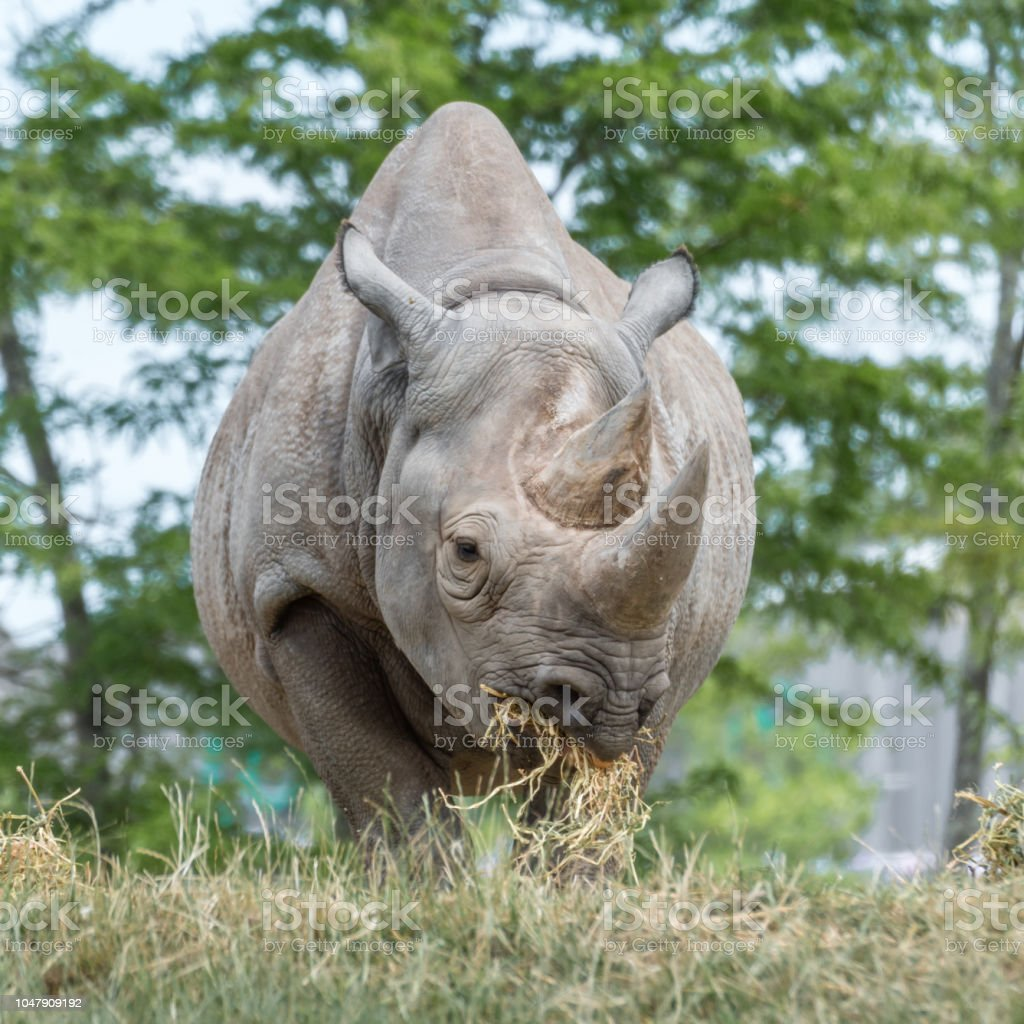 Black Rhino Eating stock photo