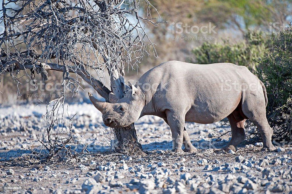 Black Rhino grazing, Etosha National Park, Namibia, Africa stock photo