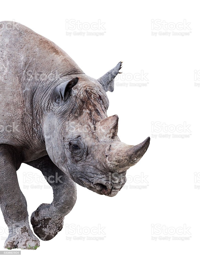 Black Rhino / Hook-lipped Rhinoceros, Diceros bicornis, isolated on white stock photo