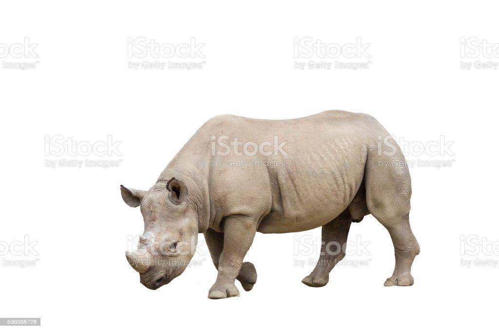 Black Rhino / Hook-lipped Rhinoceros, Diceros bicornis, isolated stock photo