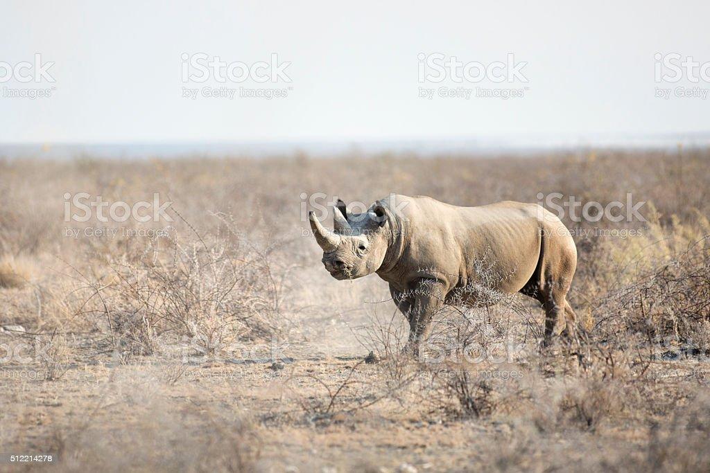 Black Rhino in bushveld stock photo