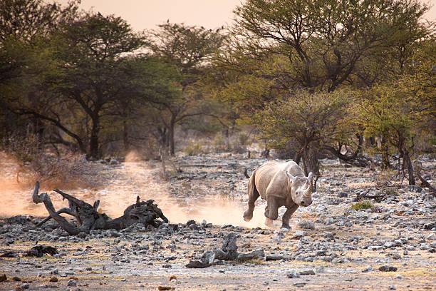 Black rhino in Etosha National Park
