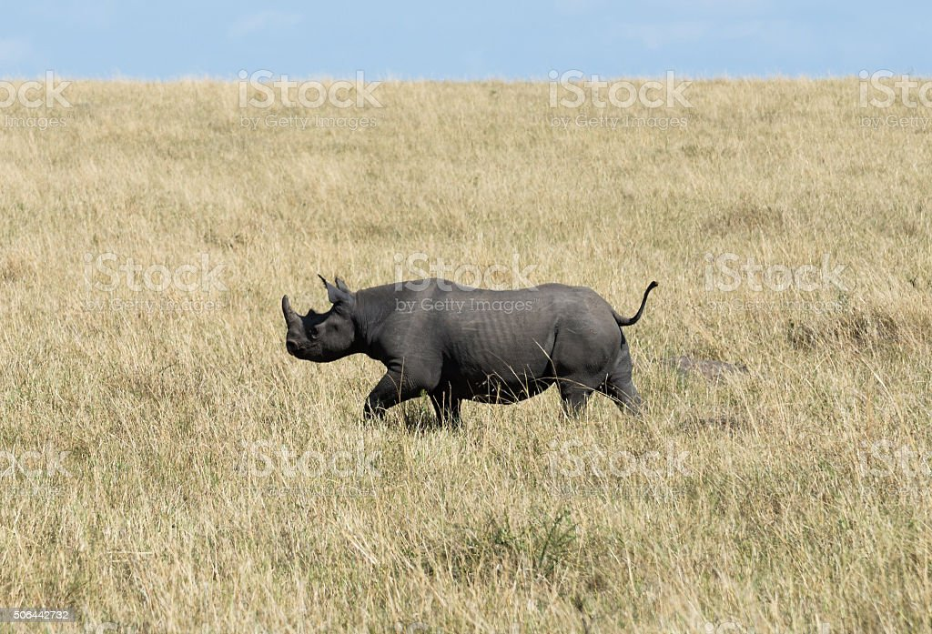 Black rhino in grassland. Maasai Mara National Reserve, Kenya. stock photo