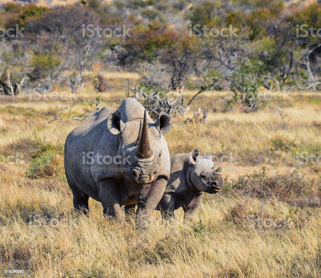 Black Rhino mother and calf stock photo