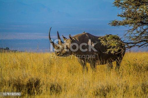 Black Rhino on dry African savanna grassland landscape with blue sky background