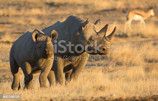 Mother and baby black rhino in warm evening light – Etosha National Park, Namibia