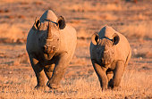 Rare image of two endangered black rhino, mother and calf, in the wild – Etosha National Park, Namibia