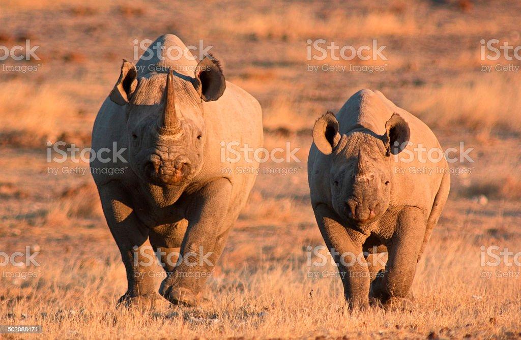 Black Rhino stock photo