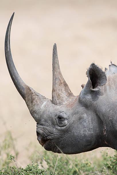 Black Rhino portrait stock photo