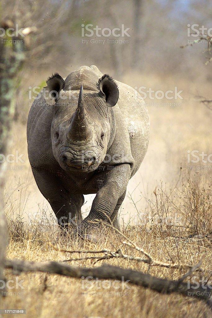 Black Rhino running stock photo