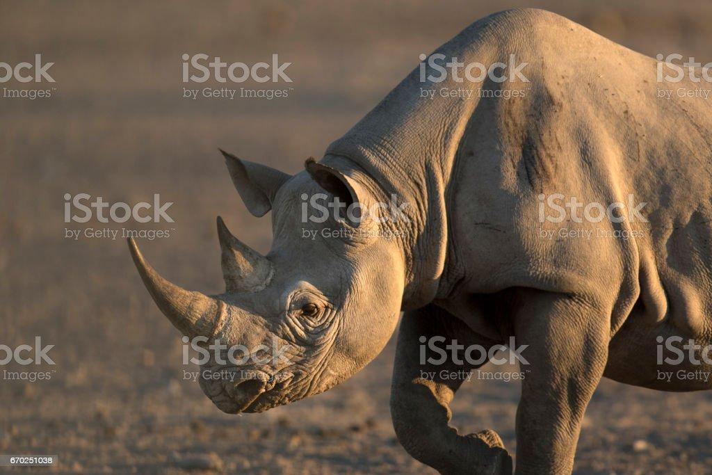 Black Rhino walking to a water hole in Etosha National Park. stock photo