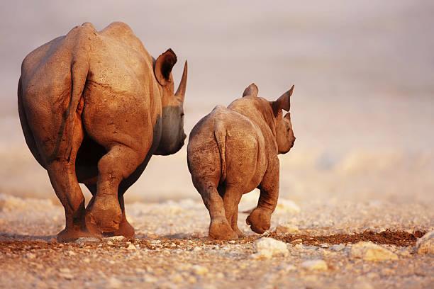 Bébé rhinocéros noir et cuir de vachette - Photo