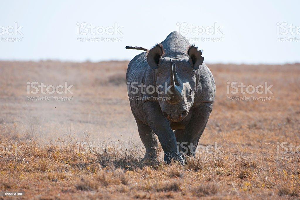Black Rhinoceros Charging stock photo