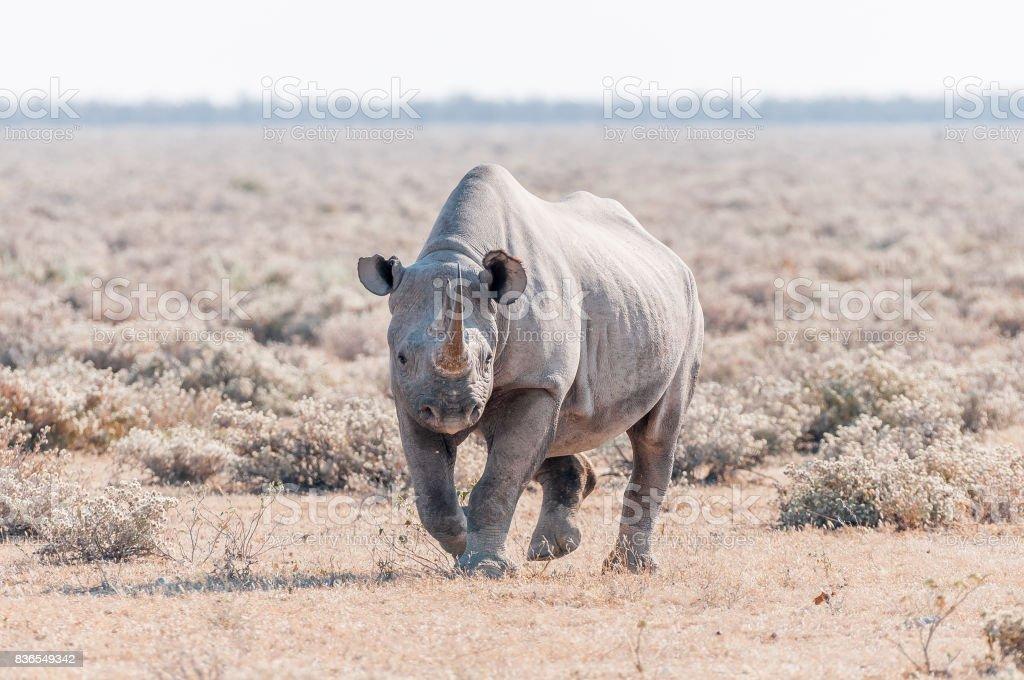 Black rhinoceros, Diceros bicornis, walking towards the camera stock photo