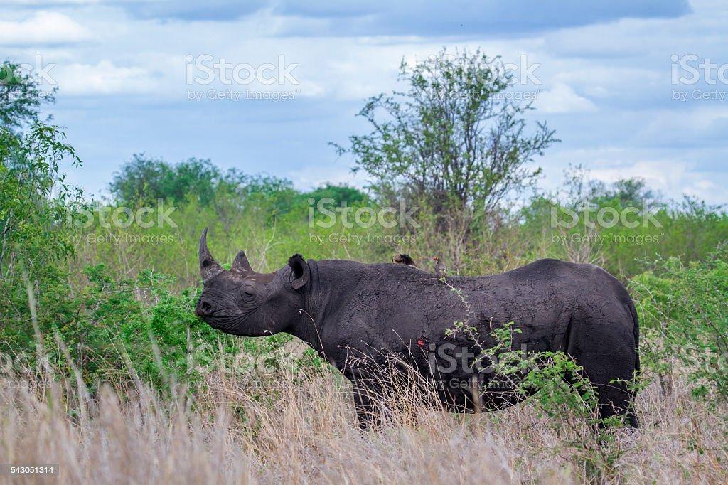 Black rhinoceros in Kruger National park, South Africa stock photo