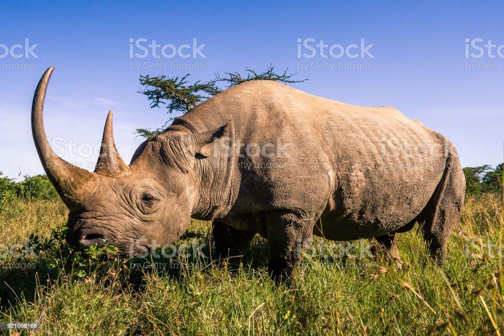 Black rhinoceros in the african savannah stock photo
