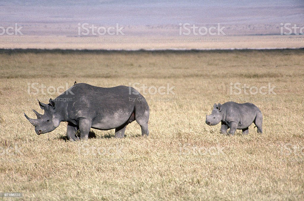 Black rhinoceros mother and baby stock photo