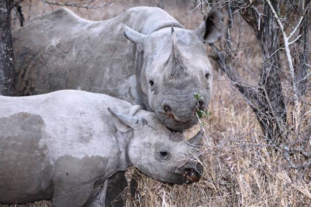 Black rhinoceros picture id1171875455?b=1&k=6&m=1171875455&s=612x612&w=0&h=7owzphymahtoyagz3ah5ibazv0ahrma7zg6pdlsu9jm=