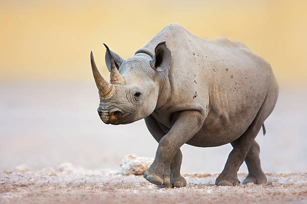 Black Rhinoceros Black Rhinoceros walking on salty plains of Etosha rhinoceros stock pictures, royalty-free photos & images