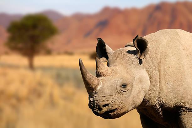 black rhinoceros - rhino stock photos and pictures