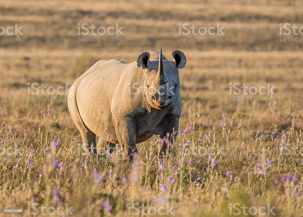 Black Rhinoceros stock photo