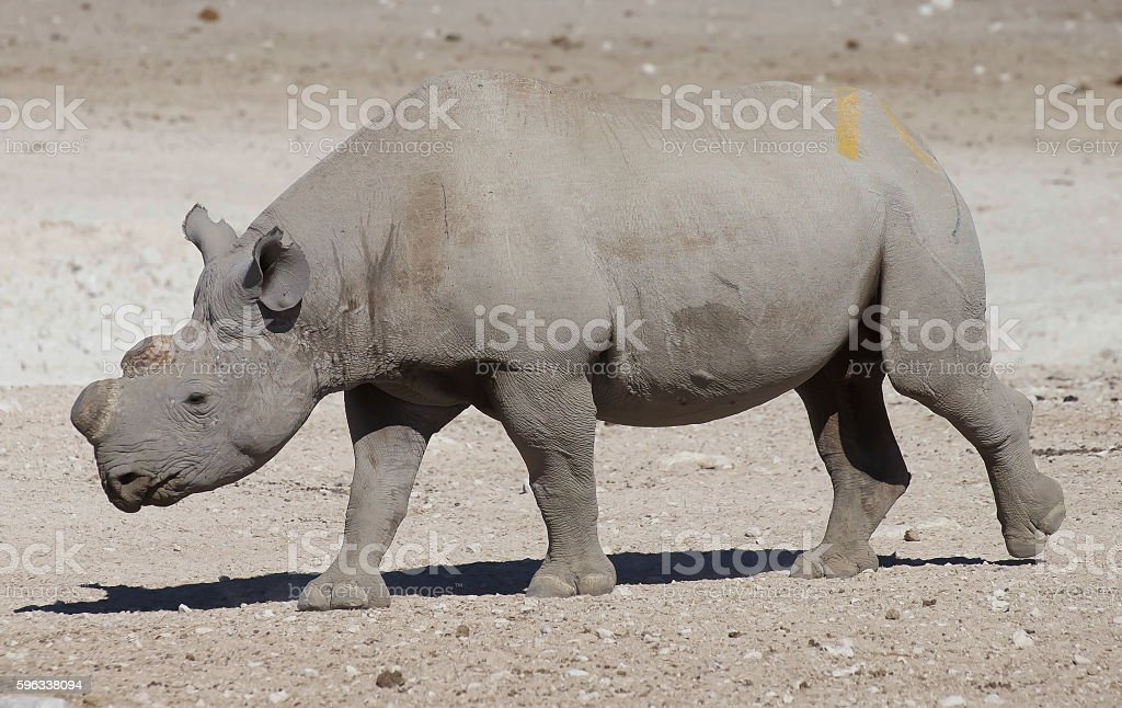 Black Rhinoceros royalty-free stock photo