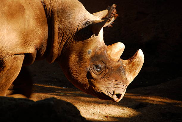 Black Rhinoceros with a runny nose stock photo