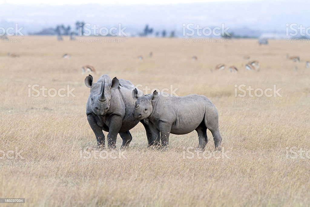 Black Rhinoceros with young one, Sweetwaters, Kenya stock photo