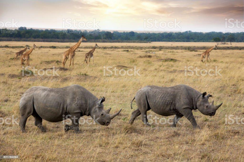Black rhinos and giraffes in the Masai Mara stock photo