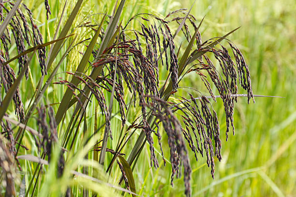 Black rice field stock photo