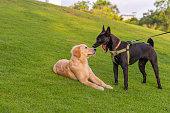 istock Black ridgeback dog barking in front of golden retriever's face 1198042701
