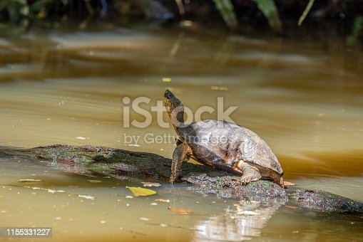 Name: Black River Turtle, Black Wood Turtle Scientific name: Rhinoclemmys funerea Country: Costa Rica Location: Tortuguero National Park