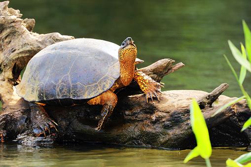 Black River Turtle (Rhinoclemmys funerea) warming under sun, Tortuguero Chanel, Costa Rica