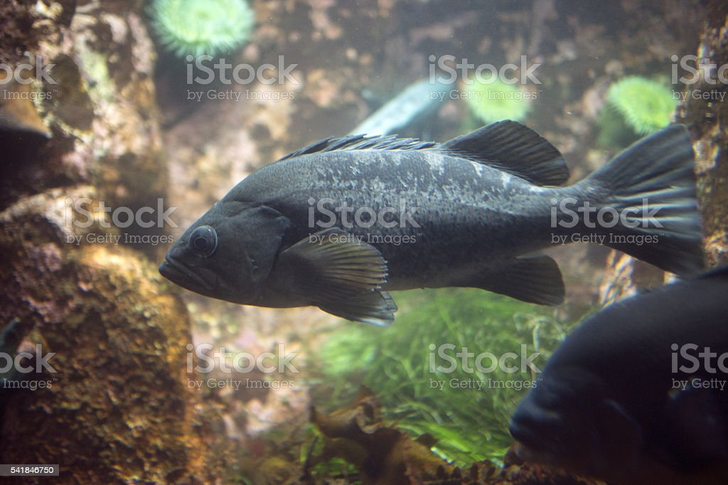 black rock cod stock photo