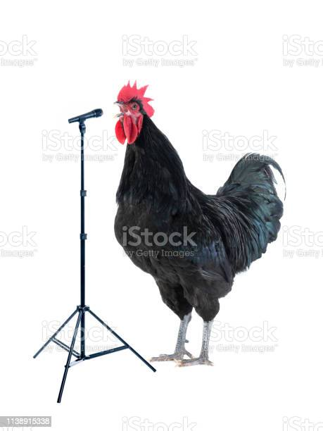 Black rooster sings near microphone isolated on white picture id1138915338?b=1&k=6&m=1138915338&s=612x612&h=zpwbrq1wbqeel2zwo7a 4r2hy2fpugnhyv4szzdccbu=
