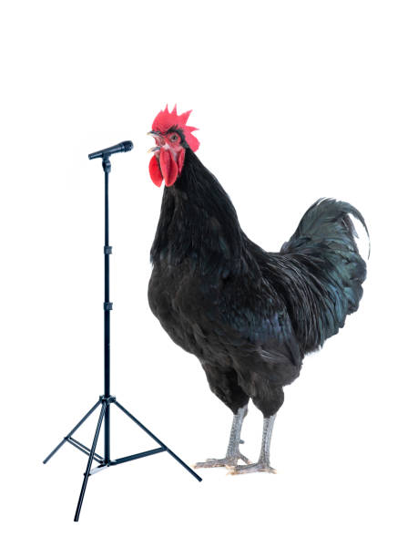 black rooster sings near microphone isolated on white black rooster sings near microphone isolated on white background rooster stock pictures, royalty-free photos & images