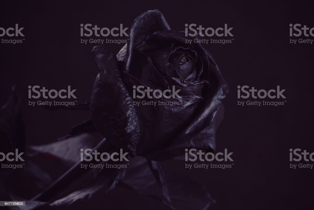 Black Rose Concept Symbol Of Sorrow Melancholy And Sad Stock Photo