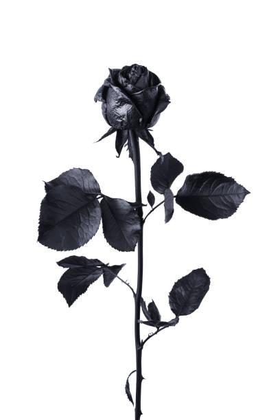 Black rose isolated on white background picture id802671238?b=1&k=6&m=802671238&s=612x612&w=0&h=veh9e03bsjlub6wvcm3k1wu9w0amisywxmbqc6jmq5a=