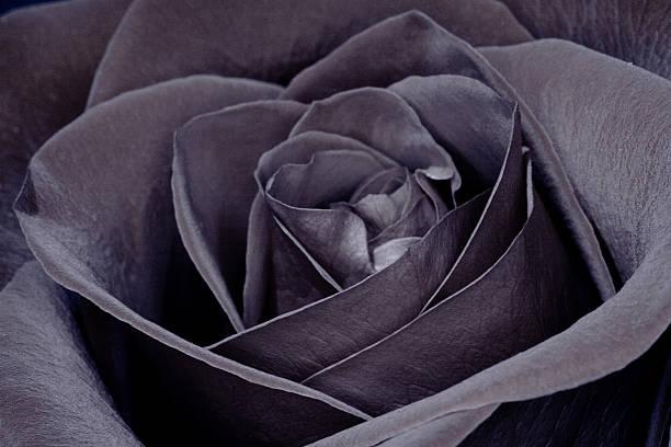 Black rose picture id157317721?b=1&k=6&m=157317721&s=612x612&w=0&h= 09 zf36ef7eibonekgm9i9ftfdgxn7gv00j6mzuo0e=