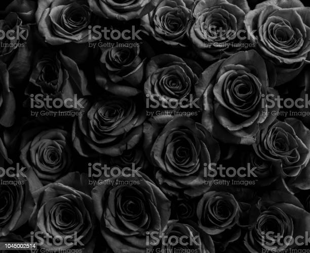Black roses isolated on a black background greeting card with roses picture id1045002514?b=1&k=6&m=1045002514&s=612x612&h=o uflf6dap5dspdlxu7w1x p2enoko54fuw07xpawva=