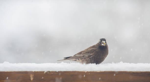 Black rosy-finch bird in the snow. stock photo