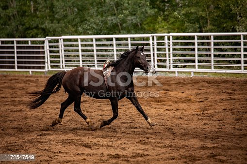 A black horse with bronc rigging running in an arena with a white fence in the background