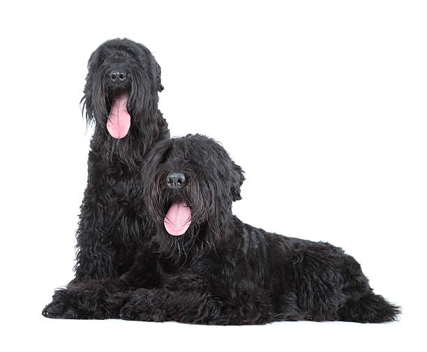 black russische terrier - lange zottige frisuren stock-fotos und bilder