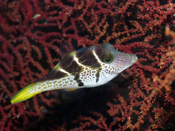 Black Saddle Mimic Filefish stock photo