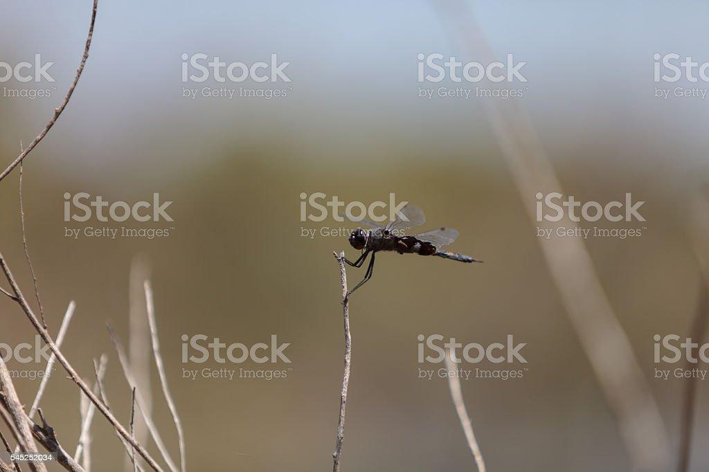Black saddlebags dragonfly Tramea lacerate stock photo