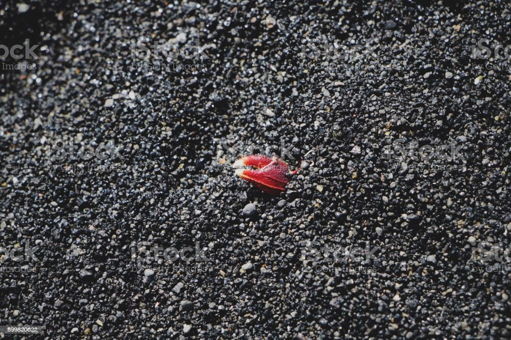 Black sand beach background with crab pincers stock photo
