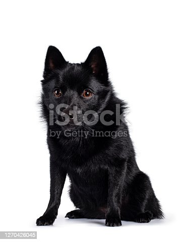 Cute solid black Schipperke dog, sitting up facing front. Head down, looking beside lens with brown eyes. Mouth closed. Isolated on white background.