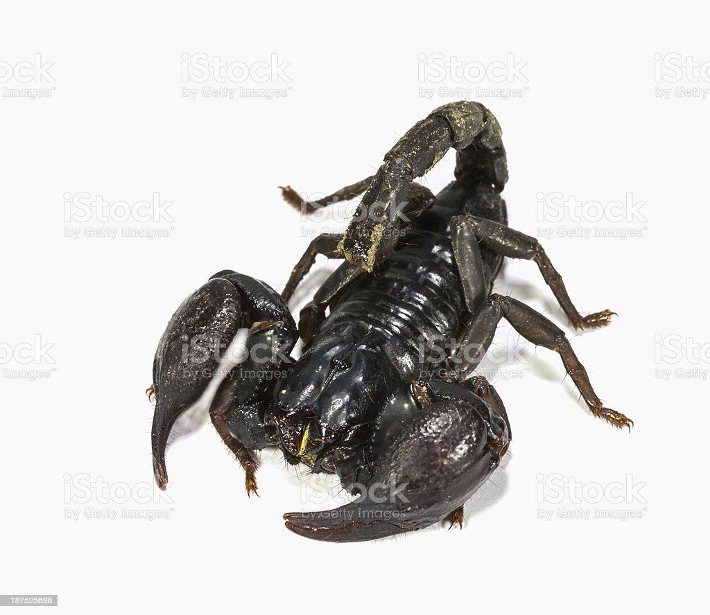 Black Scorpion Stock Photo & More Pictures of Animal   iStock
