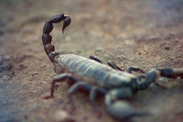 Escorpión negro - foto de stock