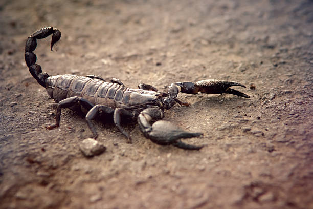 black scorpion - scorpion stock photos and pictures